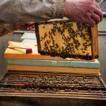 Bienen am Konzerthausdach 2