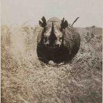 Arthur Radclyffe Dugmore Nosorog napada fotografa Kenia 1908