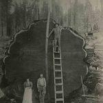 N E BECKWITH Drvosjec e ispred posjec enog mamutskog drveta Sequoia National Park Kalifornija SAD 1892