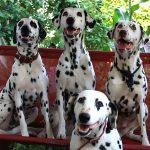 dalmatinski psi