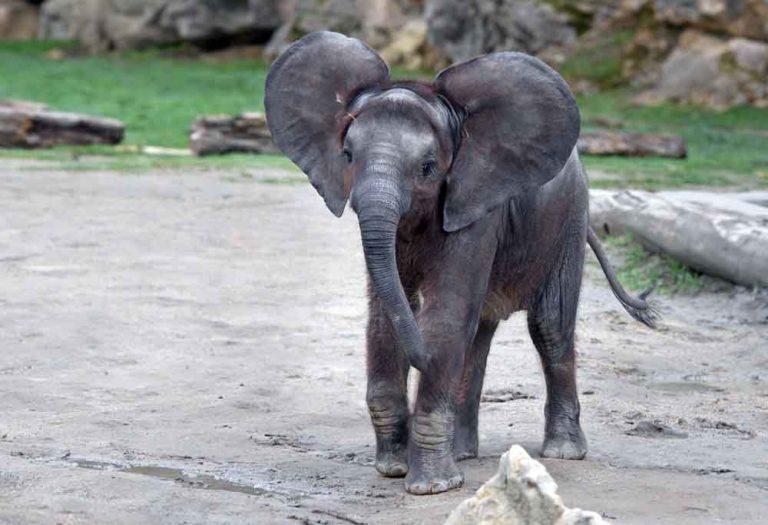 rvi rođendan male slonice iz bečkog zoološkog vrta