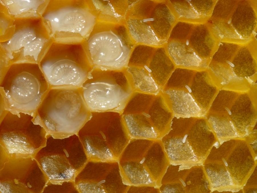 Matična mliječ – kraljica pčelinjih proizvoda!