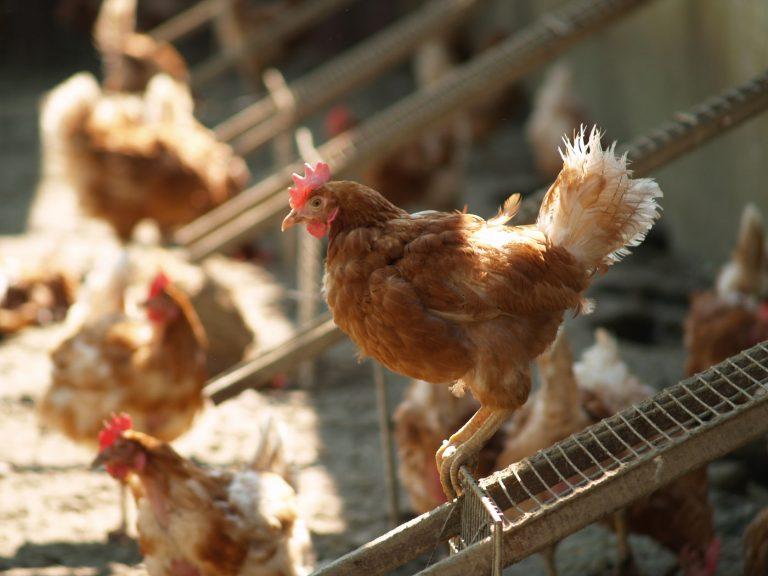 upoznavanje dame u kokoši