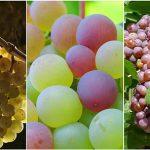 grapes 15