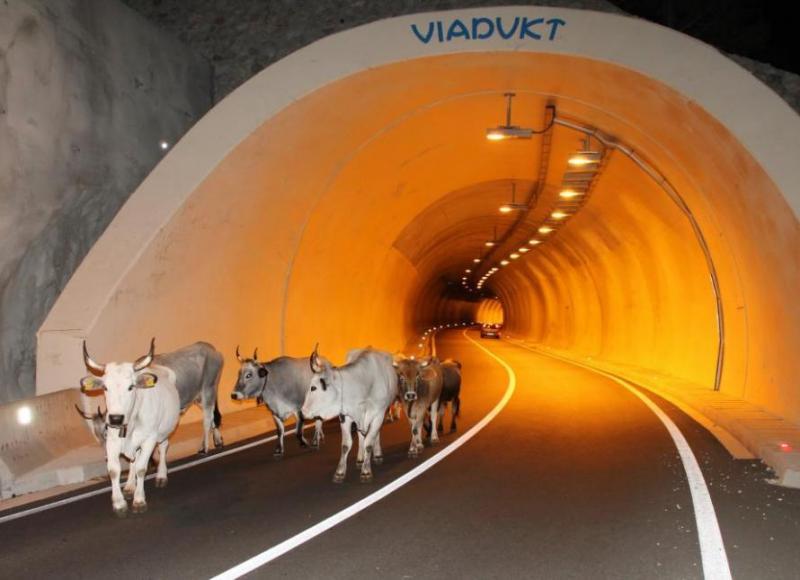 U tunelu Stupica stado krava