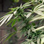 cannabis 10