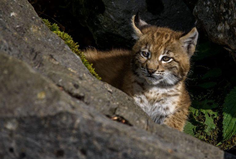 U Gorskom kotaru uhvaćen i obilježen još jedan ris
