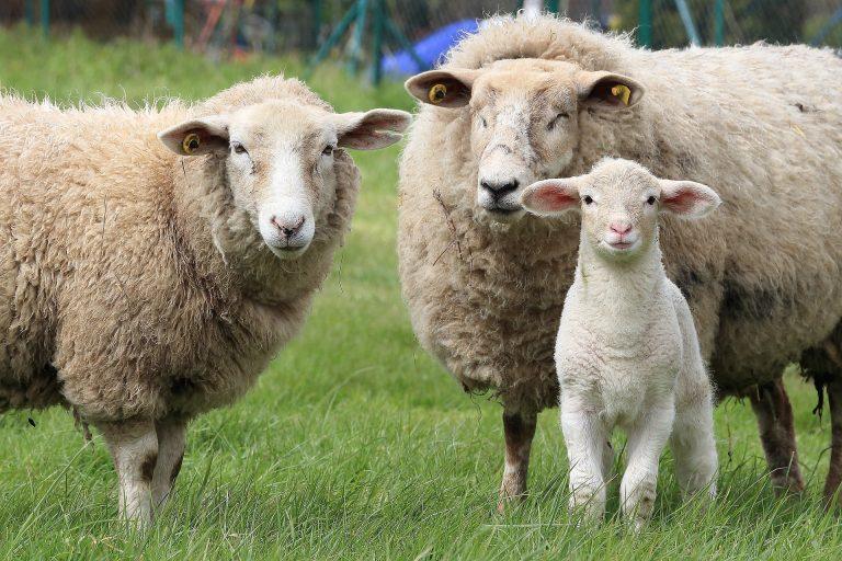 Rumunjska prevozi ovce po vrućinama i prkosi EU-u