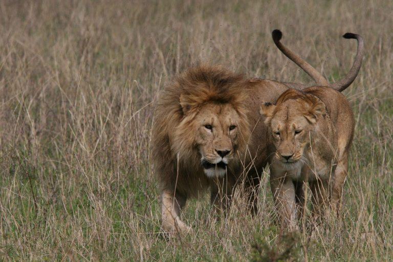 Dva ričuća lava