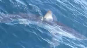 Kod Makarske snimljen morski pas