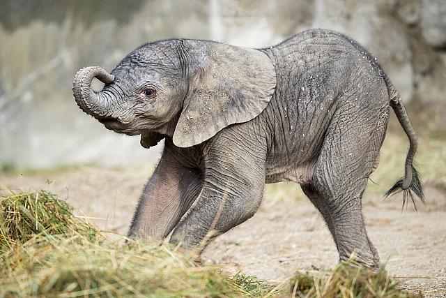 U Beču rođena prva beba afričkog slona nakon 2013. godine