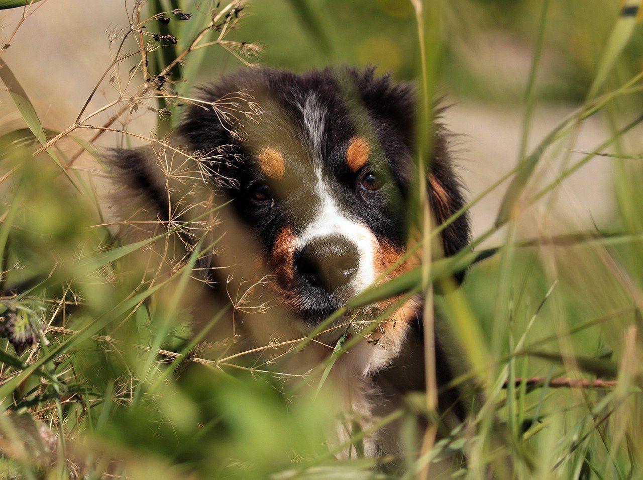 bernese mountain dog, dog, puppy