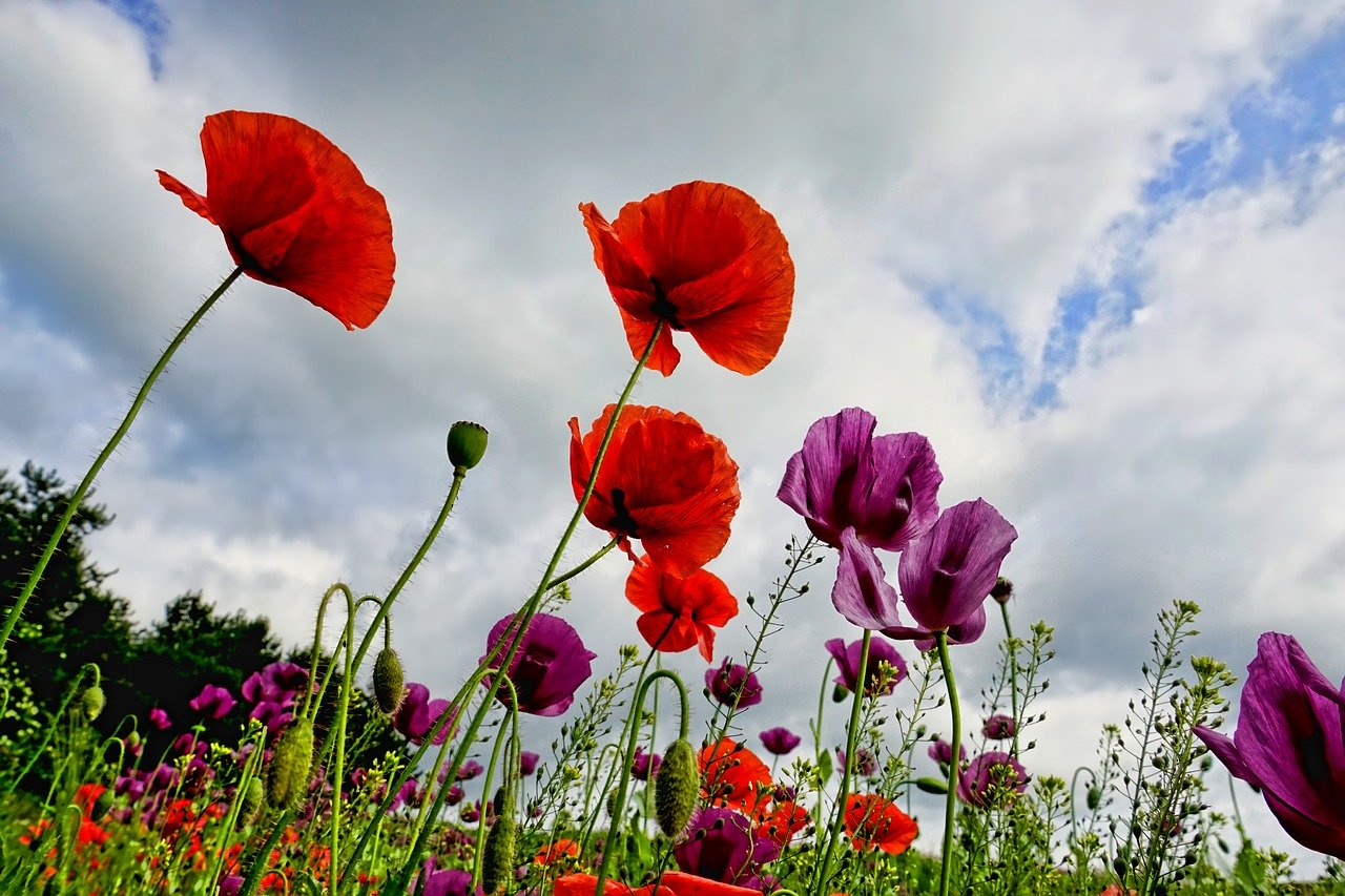 poppies, flowers, poppy