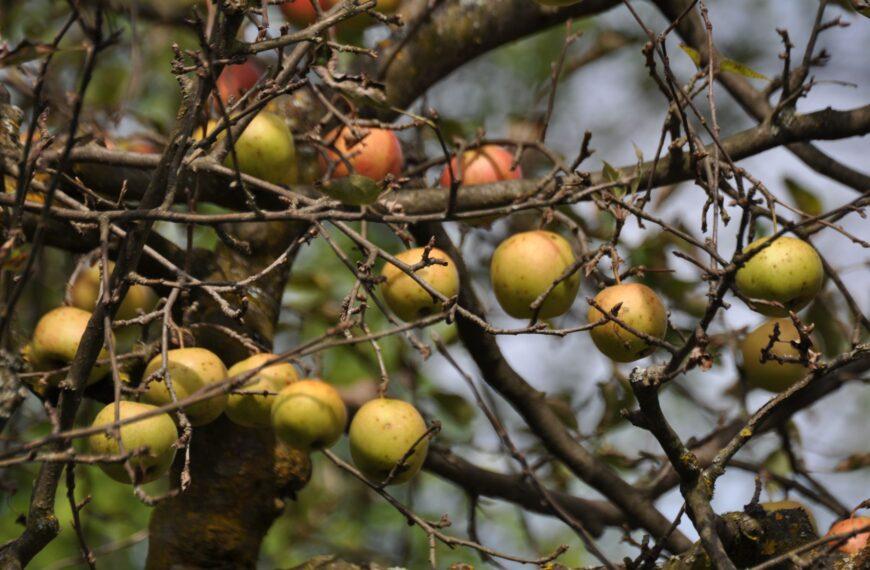 Jabuke odlične kvalitete urodile oko 55.000 tona