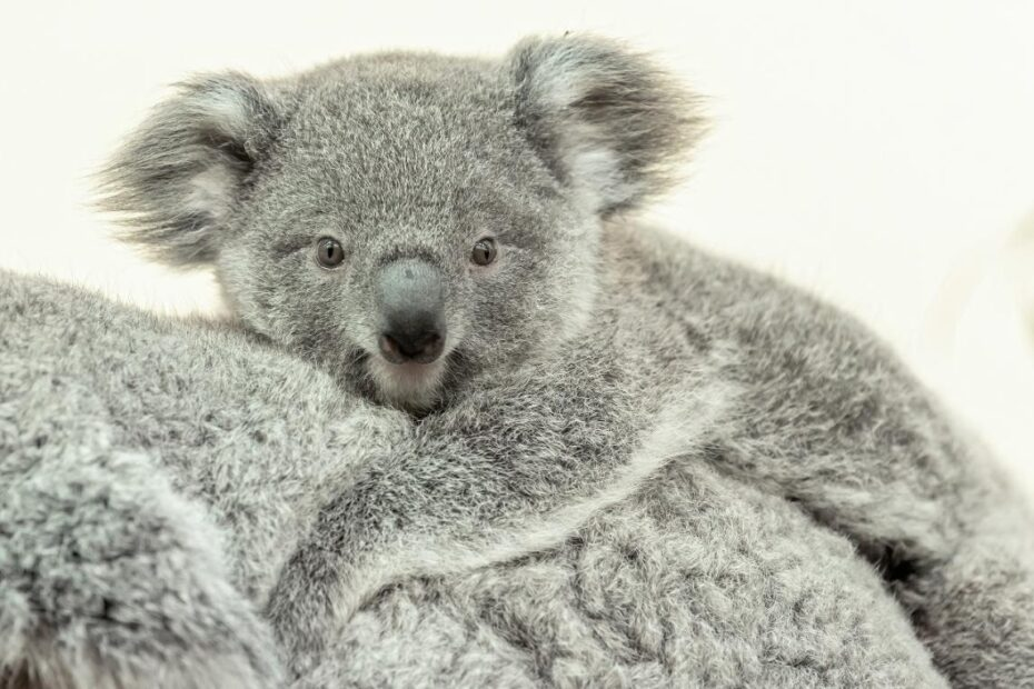 Millaa Millaa prvo je mladunče koale u bečkom zoološkom vrtu